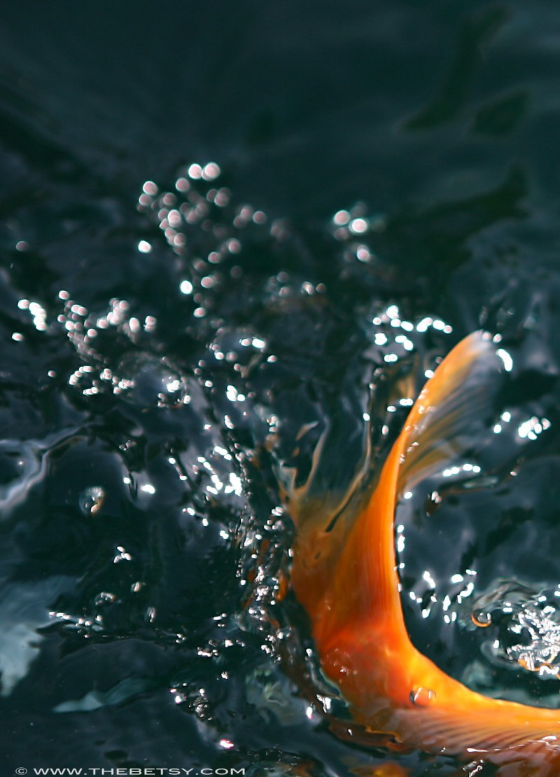 koi tail fish swimming