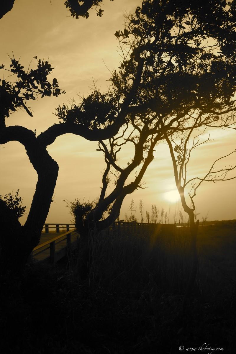 sepia live oak