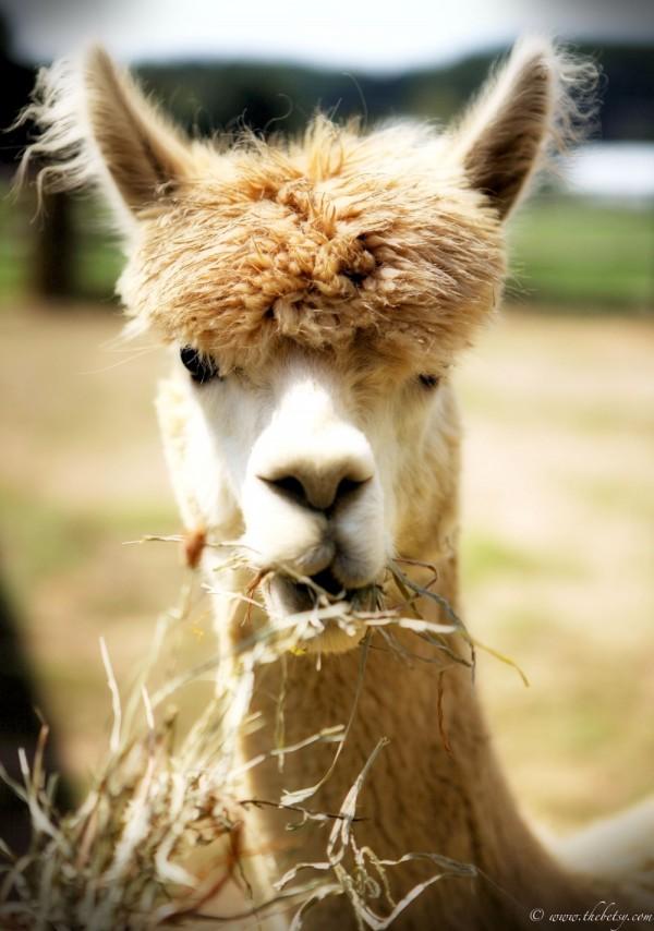 alpaca pennsylvania chester county hackman