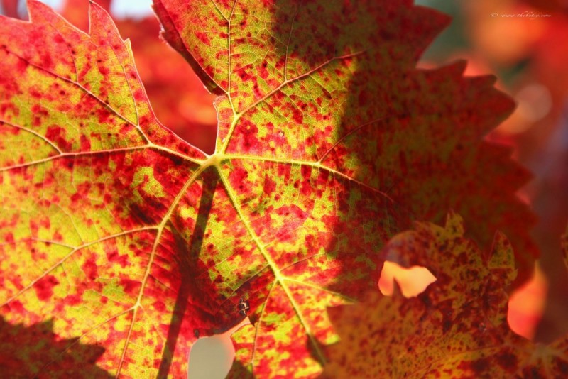 orange red yellow leaf napa valley