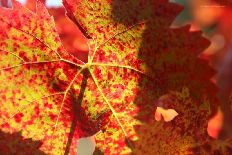 orange red yellow leaf napa valley