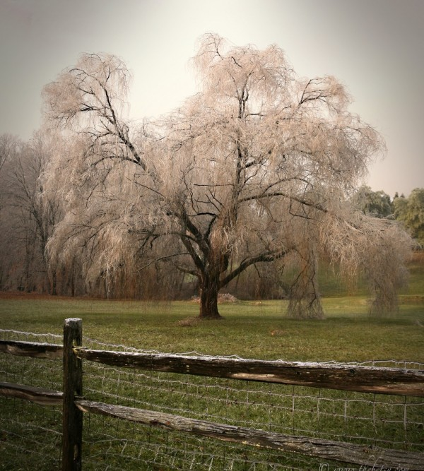 frosted weeping willow ice storm chester county