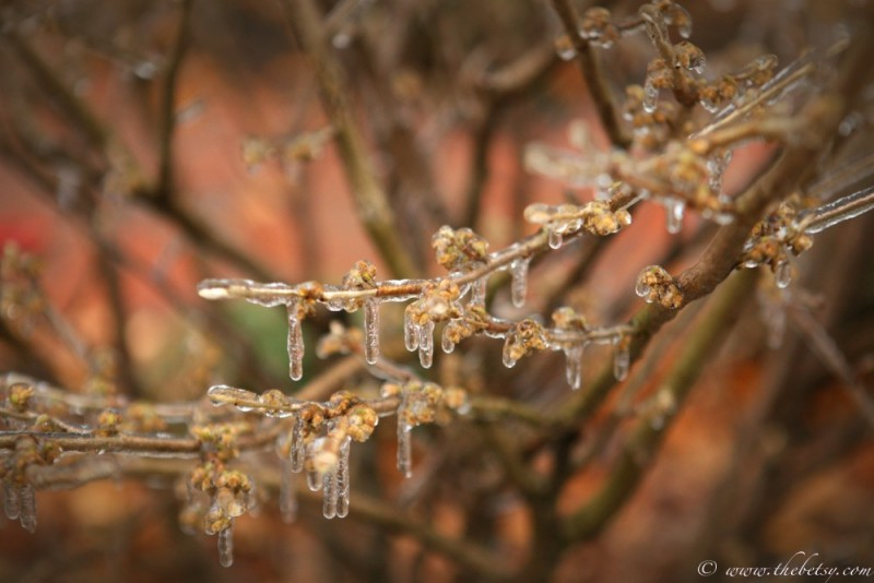 ice covered witch hazel