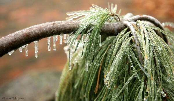 frozen atlas cedar