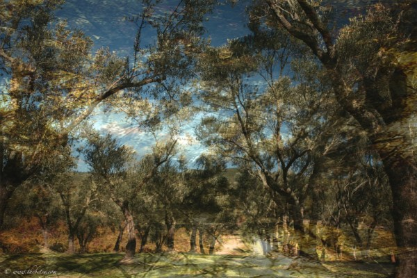olive grove napa valley california texture added