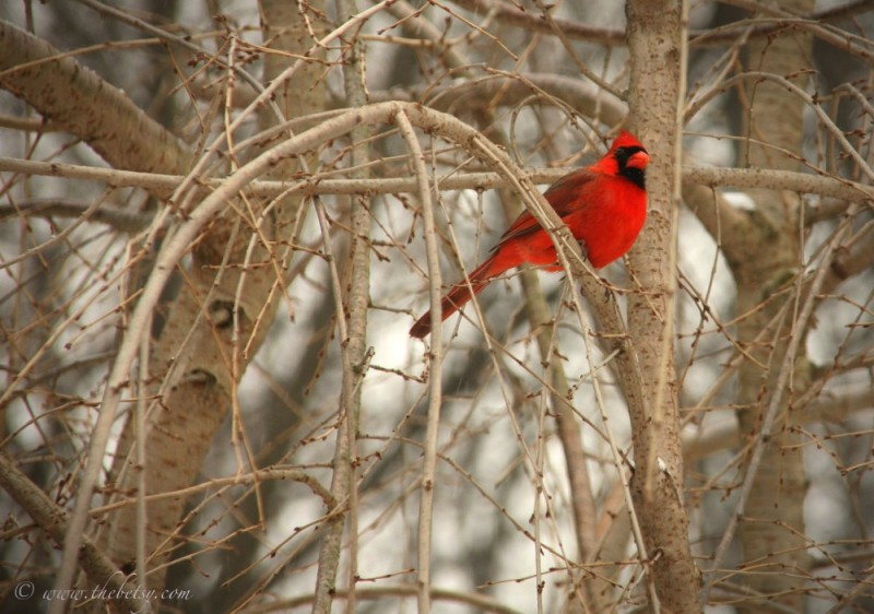 red cardinal glenmoore bay window jack photograph