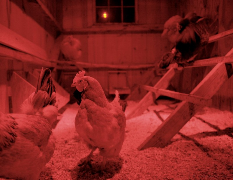 chickens bedtime roost red light