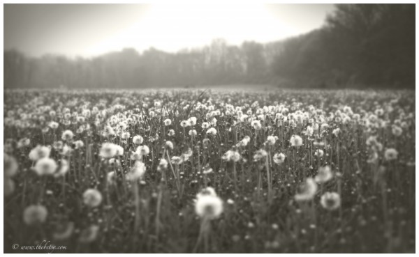 dandelion  fields macungie lockridge spring