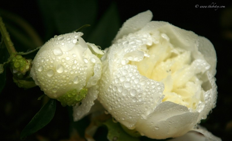 water drops white peonies flowers
