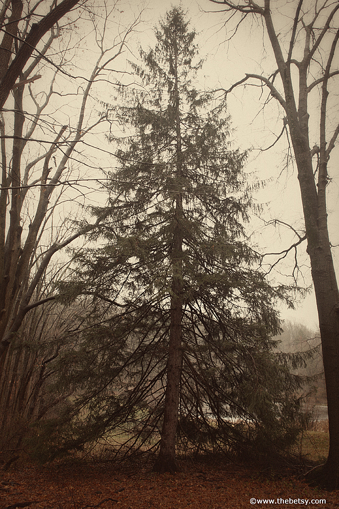 evergreen, winter, fog
