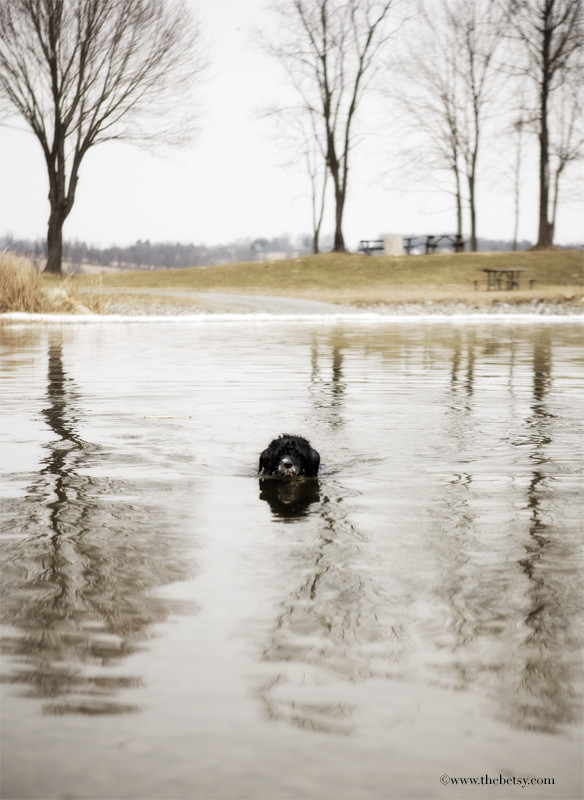 portuguese water dog, marsh creek, lake, swim