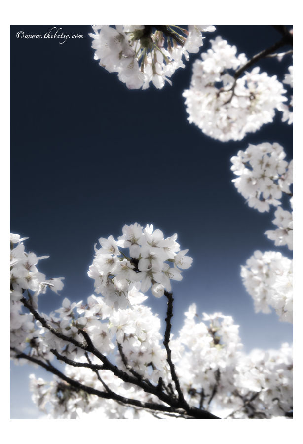 cherry-blossoms, trees, sky, blue, spring