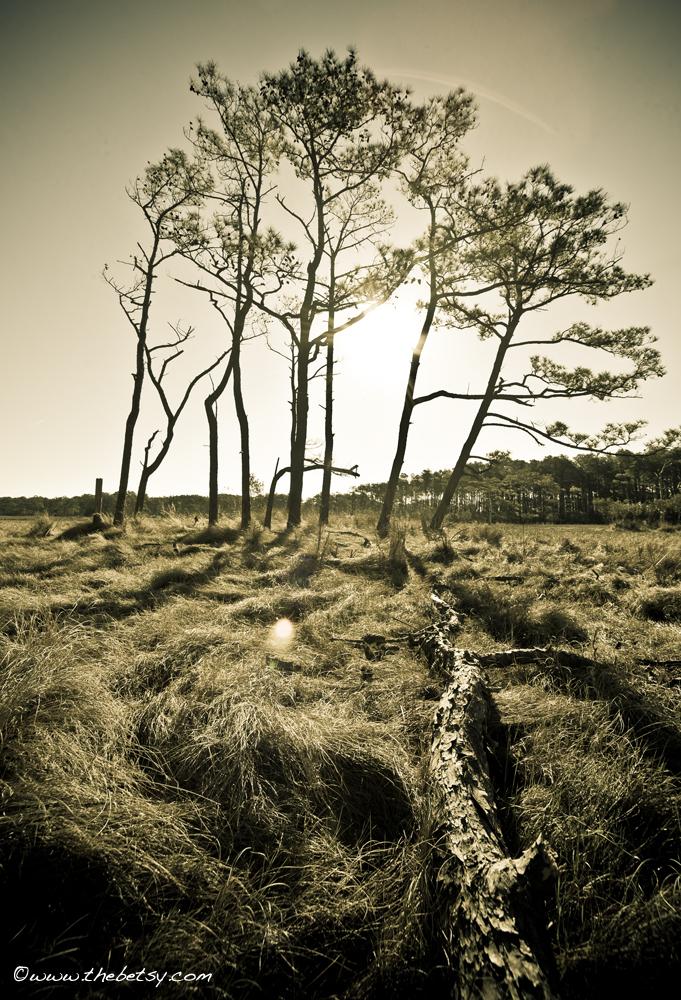 trees, slippery-log, assateague, lens-flare