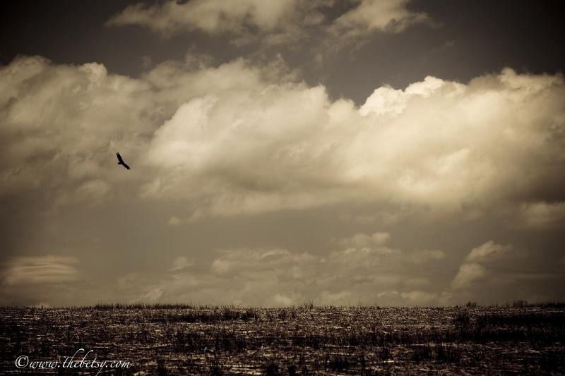 bird, field, clouds, summer