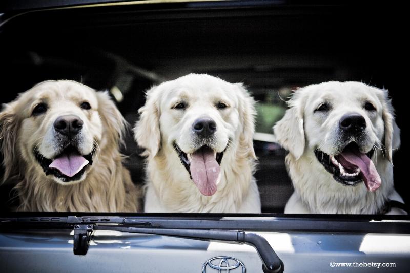 golden-retriever, dogs, portrait, three