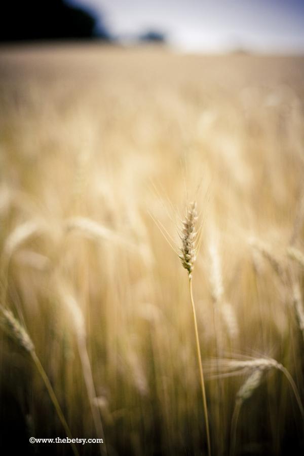 wheat, fields, summer