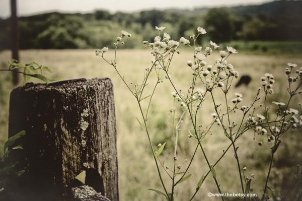 farm, flower, cow, fence