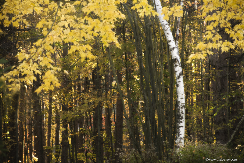 autumn, leaves, gold, fall, trees