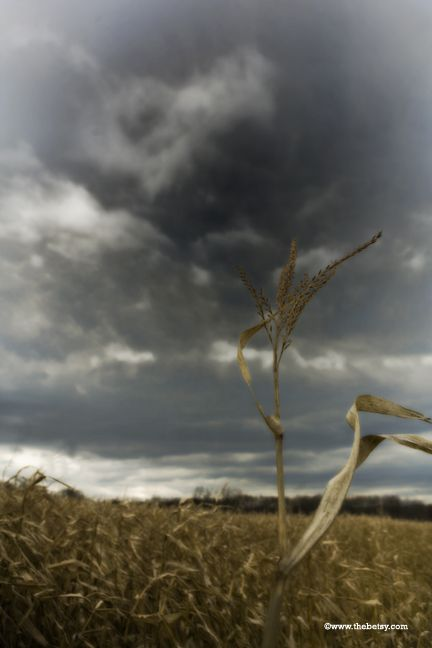 corn, sky, clouds