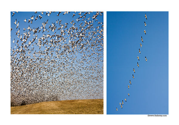 snow-geese, middle-creek, migration, flying, dipty