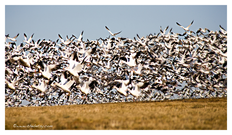 snow-geese, middle-creek, migration, flying