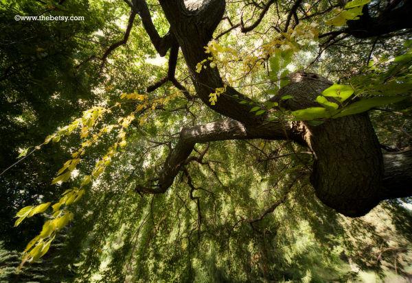 tree, welkenweir, weeping-willow, green