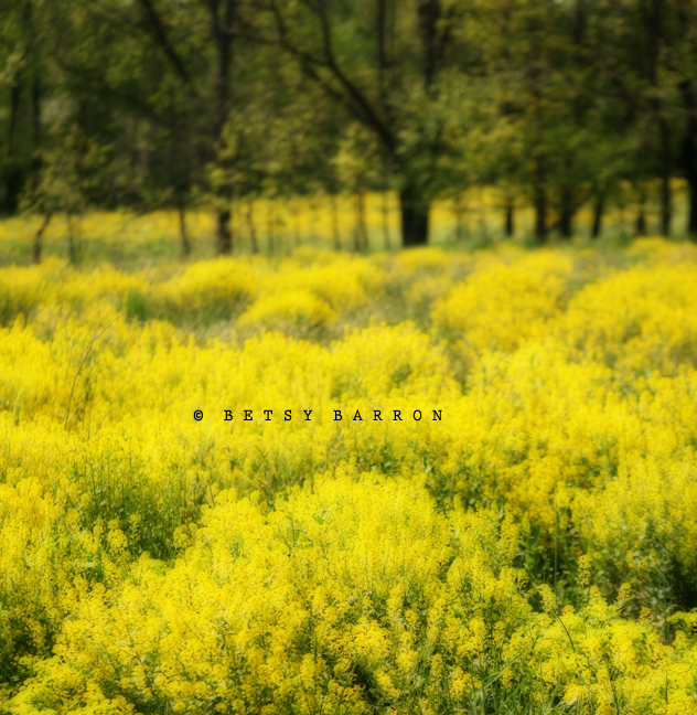 mustard, spring, fields, barn, farm, birchrunville