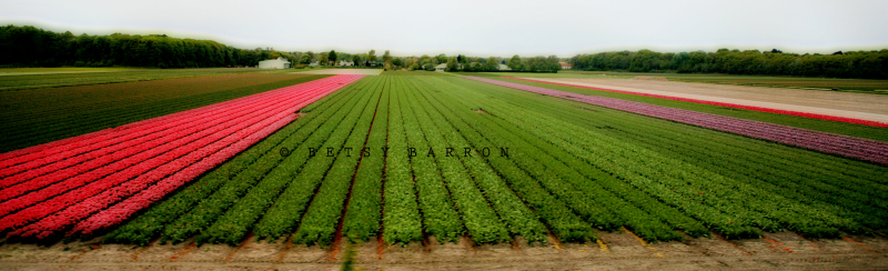 tulips, field, holland, color, motion