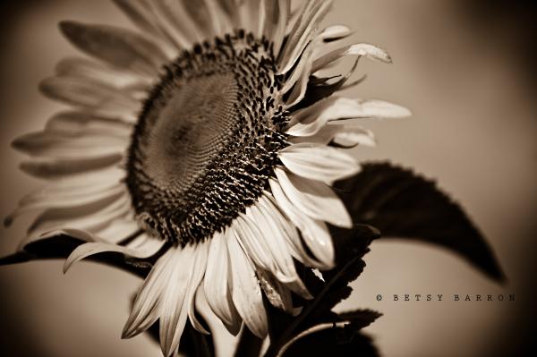 sunflower, vignette, sepia