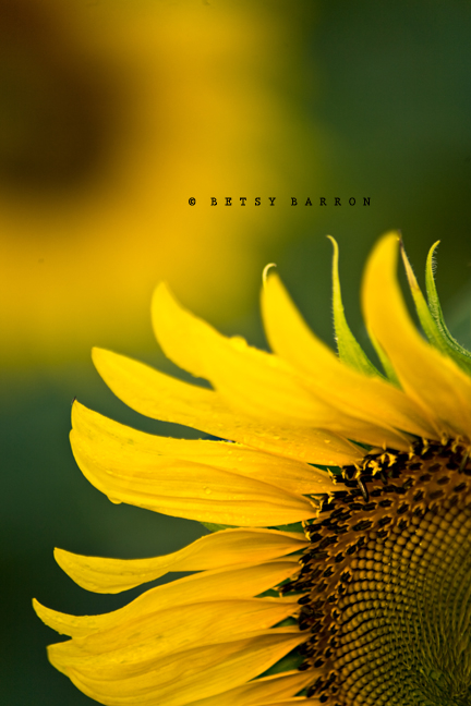 sunflowers, bokeh