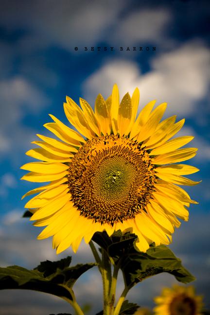 sunflower, sky
