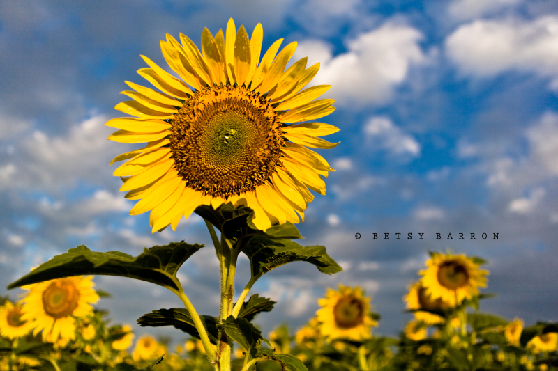 sunflowers, sky, field