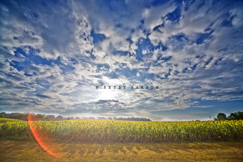sunflower, field, sky, lens-flare