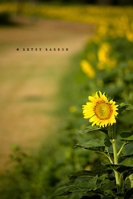 sunflower, bokeh, field, farm, summer