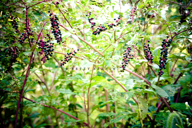 pokeberry, plant, purple, berries, green