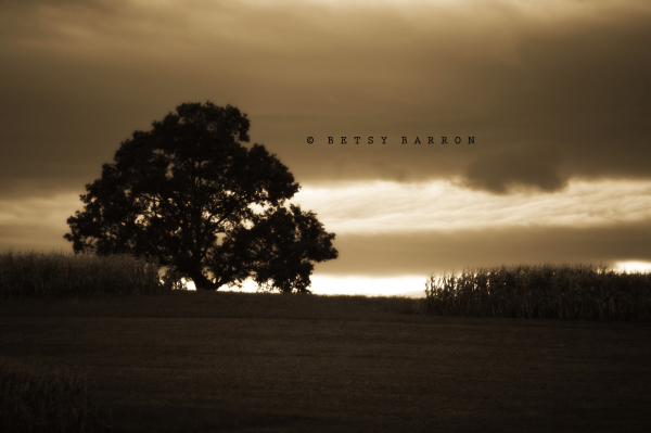 tree, farm, field, corn, summer, sunset, sepia