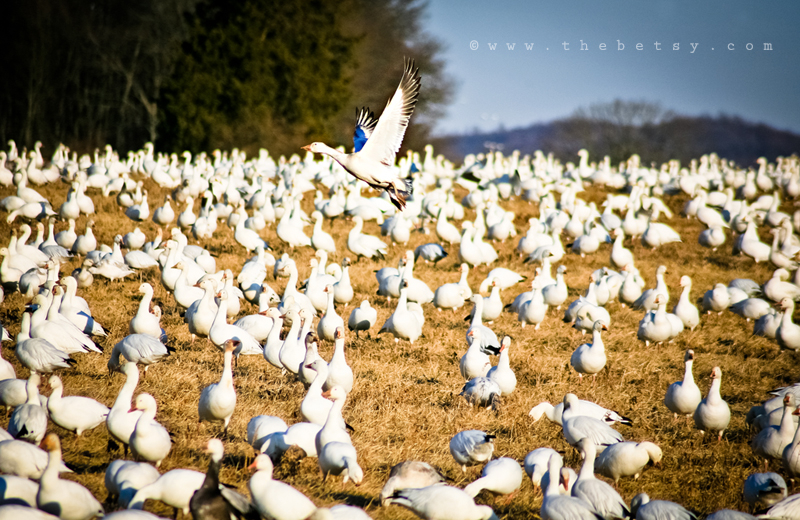 snow geese, middle-creek, field