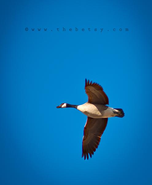 goose, flight, middle-creek, bird