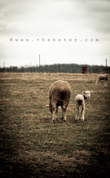 lamb, baby, sheep, farm, field, hershey