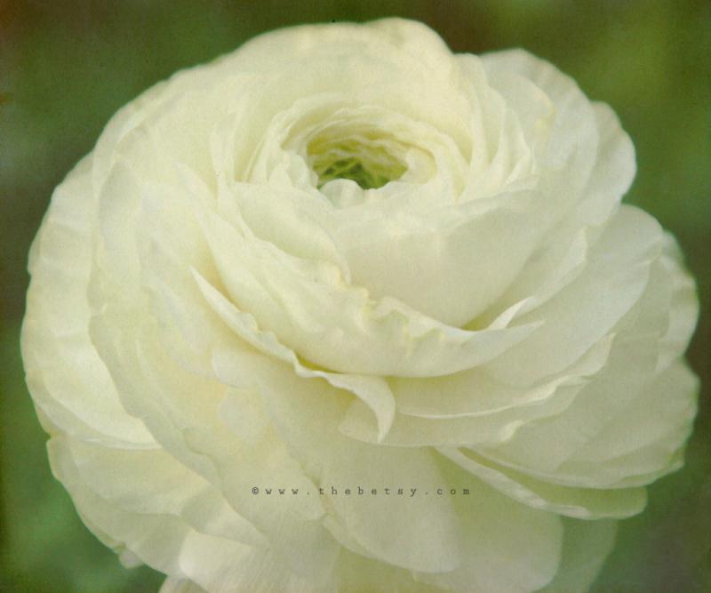 flower, ranunculus, vintage