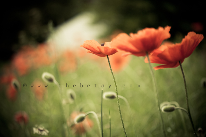 poppy, poppies, orange, grass, green road, spring