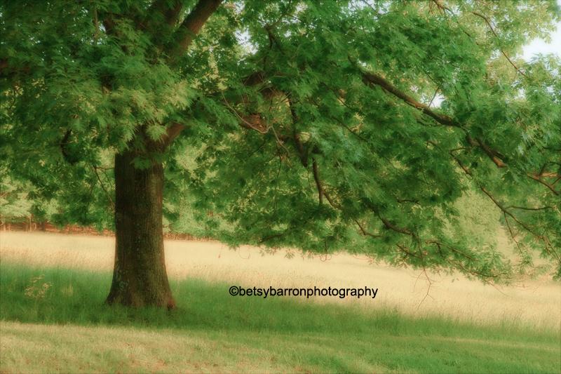 tree, summer, sun, golden, leaves