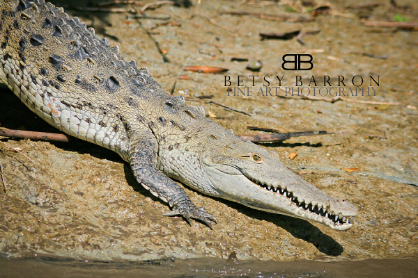crocodile, reptile, animal, costa, rica, teeth