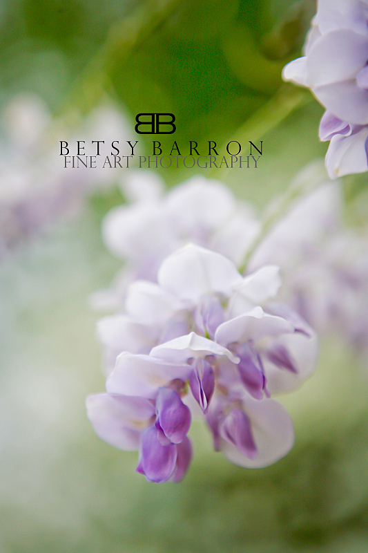 wisteria, longwood, flower, purple, spring