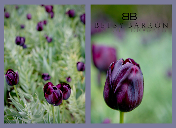 tulips, longwood, garden, purple, diptych