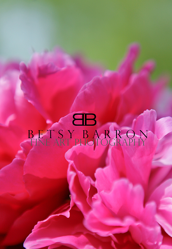peony, bud, flower, plant, spring, pink, green