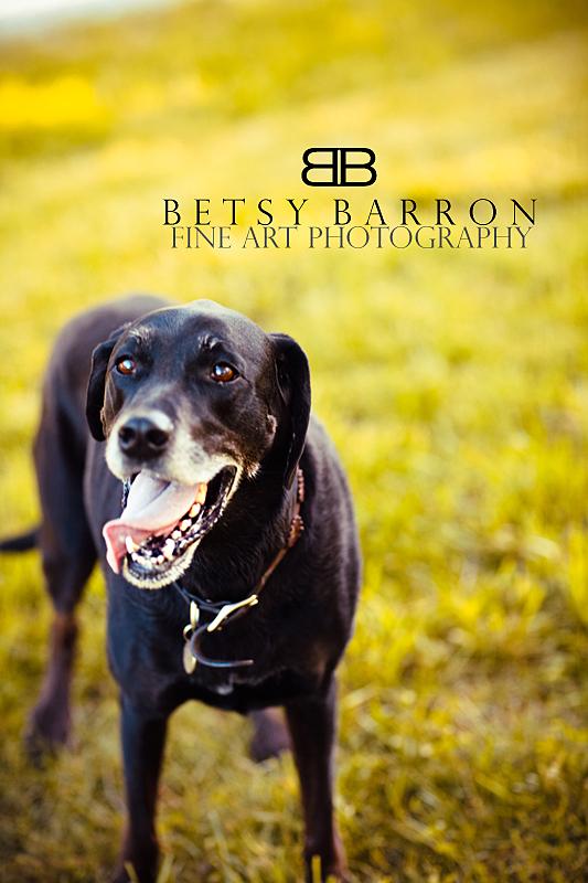 dog, yellow, black, lab, labrador, retriever