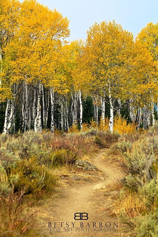 aspen, yellow, wyoming, fall, color, autumn