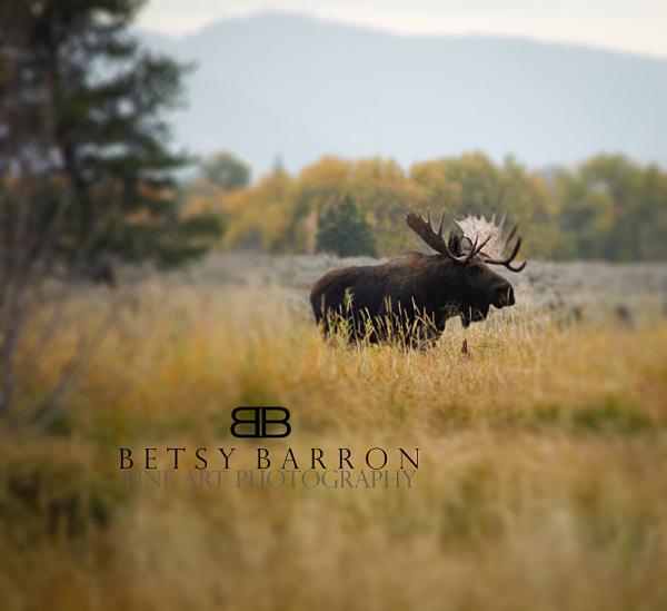wyoming, bullmoose, moose, field, antlers, bull