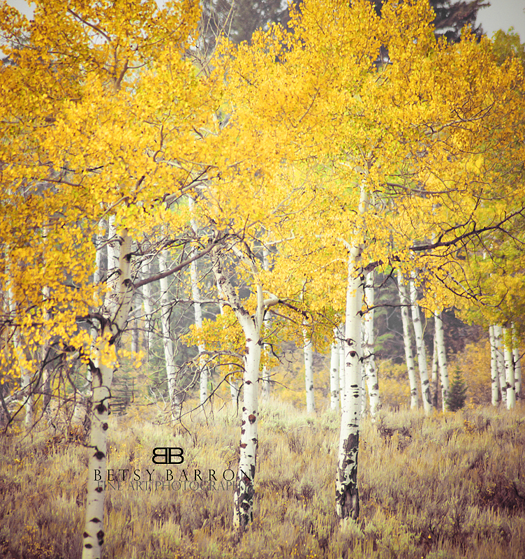 aspen, tree, wyoming, jackson, leaves, fall,autumn